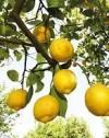 Туреччина обмежила експорт лимонів через коронавірус