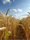 Україна експортувала рекордні 85 тисяч тонн жита