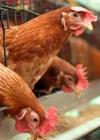 ЄС збільшить безмитні квоти на курятину з України